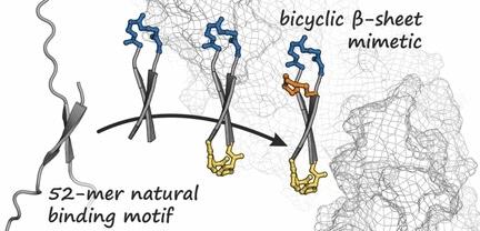 Los investigadores desarrollan un péptido bicíclico horquilla-dado forma para luchar el cáncer