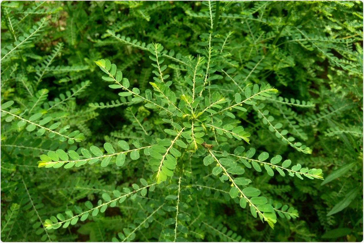 Corilagin é um composto derivado do urinaria de Phyllanthus. Crédito de imagem: Hasnia/Shutterstock