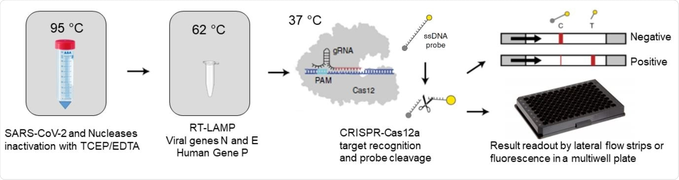 RCSMS detection workflow. Upon saliva treatment with TCEP/EDTA, 2 µl of inactivated sample are added to a 10 µl RT-LAMP reaction. A 2 µl aliquot of the RT-LAMP product is then mixed with the RNP complex consisting of Cas12 and RNA guides. Recognition of viral target sequences by the RNP complex triggers the collateral activity of Cas12a, resulting in the cleavage of ssDNA reporter probes. For immunocromatographyic (qualitative) readout, a lateral flow strip is then inserted into the CRISPR-Cas12a reaction tube or well. Within two minutes, uncleaved reporter molecules flow and accumulate into the control capture line of the strip (C band in the image), whereas cleaved reporter molecules flow towards the target capture line of the strip (T band in the image), (adapted from Broughton et al. (8) and Patchsung et al. (18)). For fluorescence (quantitavite) readout, CRISPR-Cas12a reactions are recorded in real-time over 10 min using an automated plater reader; cleaved reporter molecules yield a bright fluorescent signal