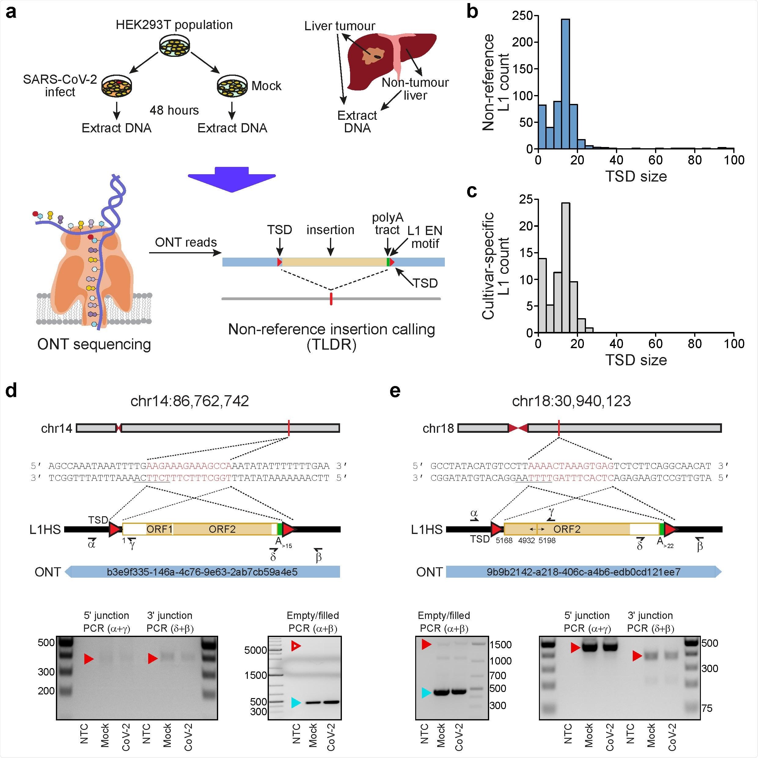 Rilevazione del retrotransposition endogeno di L1-mediated in cellule umane. a, progettazione sperimentale. Le celle di HEK- 293T sono state divise in due popolazioni (cultivar), che erano poi qualsiasi SARS-CoV-2 infettati o falso infettate. Il DNA è stato estratto da ogni cultivar come pure dai campioni pazienti di carcinoma epatocellulare ed è stato sottoposto all