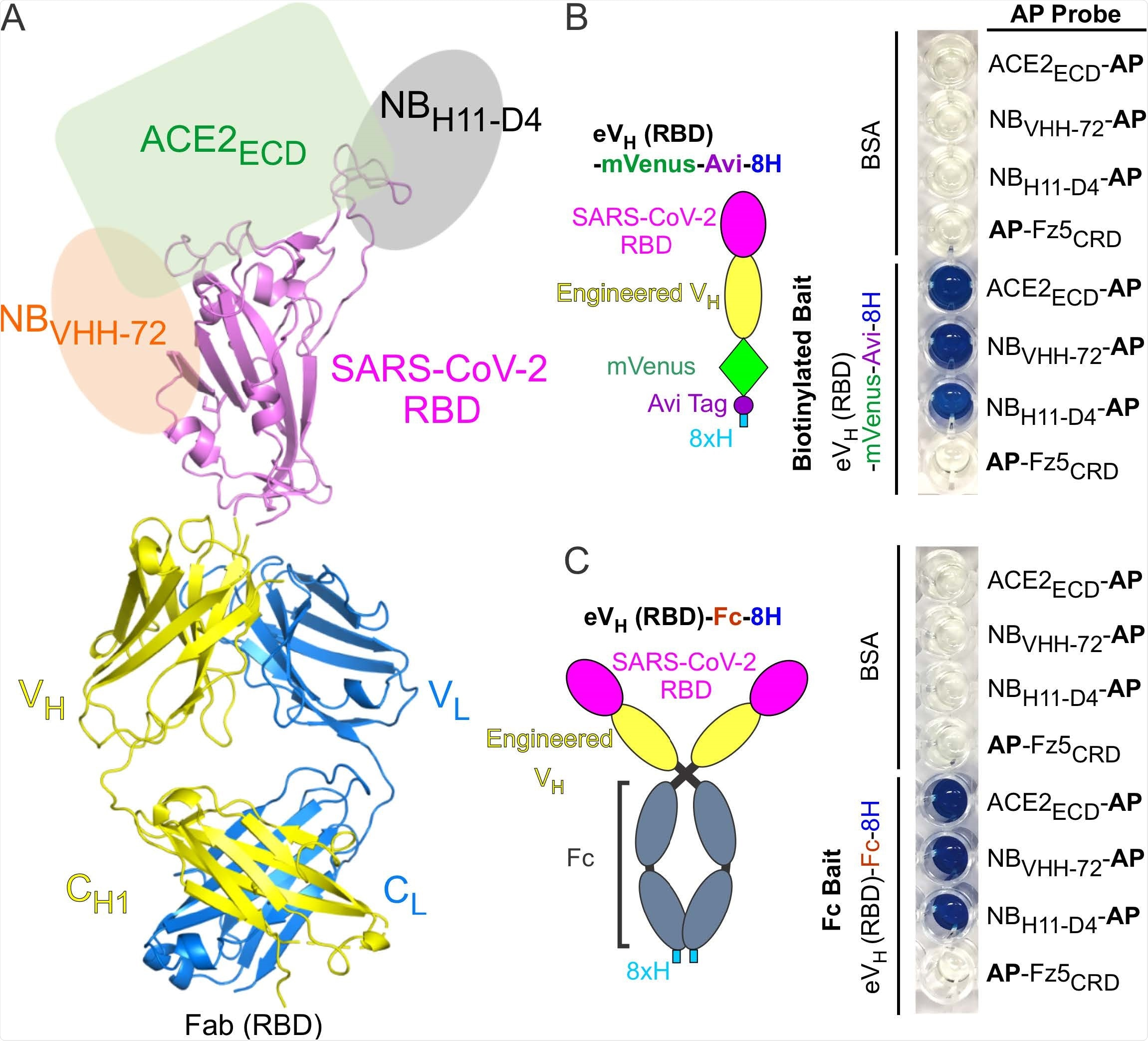 Antibody Display SARS-CoV-2 RBD (RBD-AD). (A) Molecular model of RBD-AD showing in the Fab format. The RBD (magenta) of SARS-CoV-2 S protein is displayed on the VH (yellow). A schematic diagram shows the binding sites on the RBD for ACE2ECD (green), NBVHH-72 (orange), and NBH11-D4 (grey). (B) A diagram of the RBD of SARS-CoV-2 S protein is displayed on the engineered VH fused to a mVenus, an Avi tag, and an 8xH tag at the Cterminus. For the AP based binding assay, biotinylated baits were immobilized on streptavidincoated wells. Bound AP fusion proteins (probes) were visualized with BluePhos phosphatase substrate solution. BSA and Fz5CRD fusion proteins are used as negative controls. (C) Diagram of SARS-CoV-2 RBD-containing engineered VH fused an 8xH tagged human Fc. FC baits were captured on protein-G coated wells and incubated with AP fusion proteins (probes). The bait and probe interactions were detected as in panel (B).