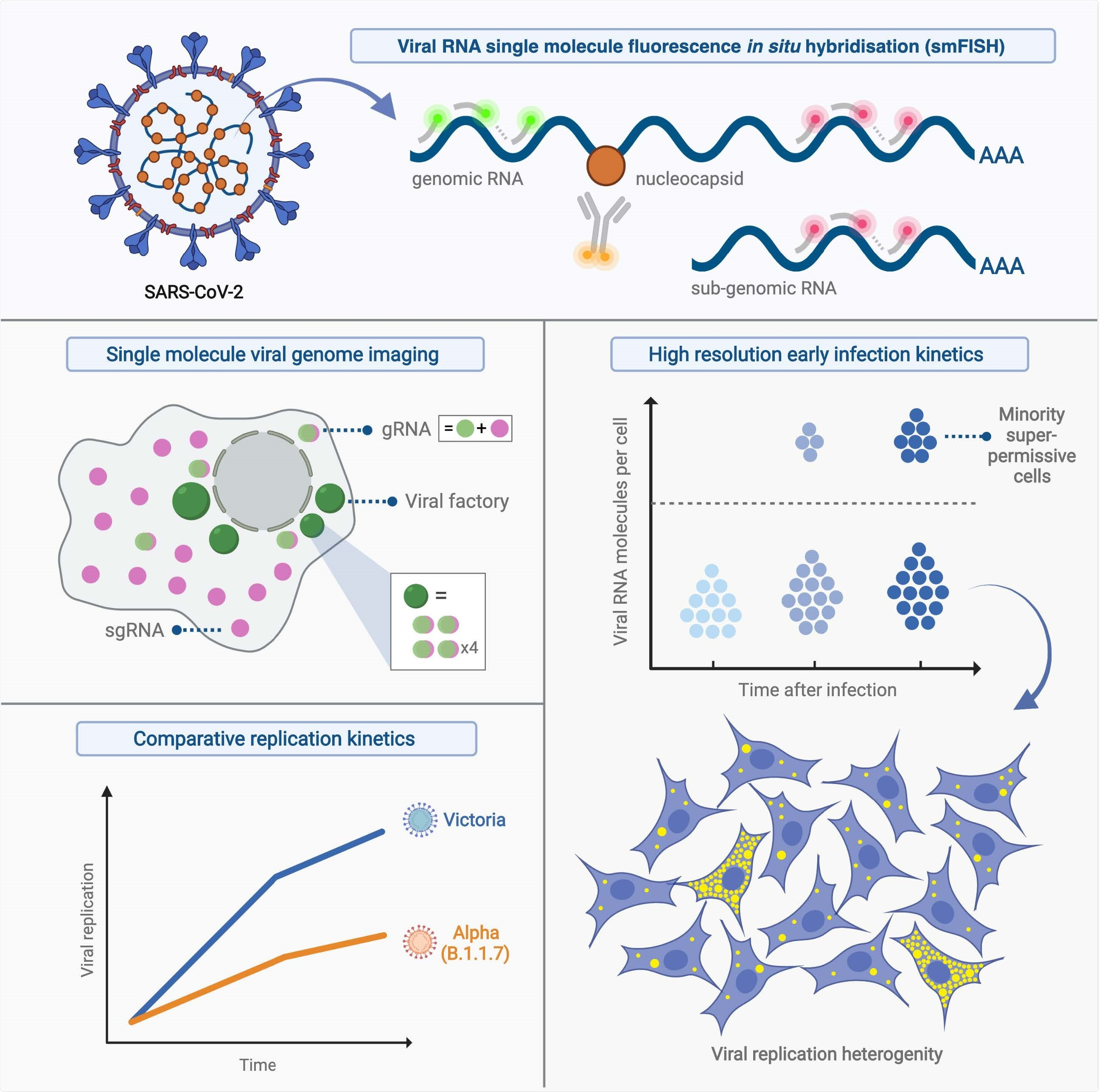 Study: Absolute quantitation of individual SARS-CoV-2 RNA molecules: a new paradigm for infection dynamics and variant differences