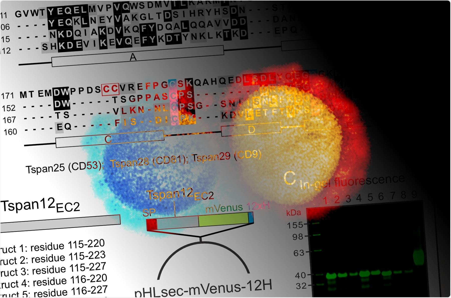 Study: Antibody Display of cell surface receptor Tetraspanin12 and SARS-CoV-2 spike protein