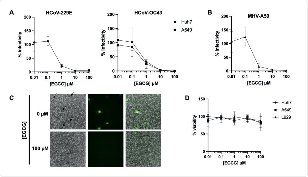 EGCG pre-treatment inhibits diverse CoV infections. Pre-treatment of authentic HCoV-229E and HCoV-OC43 (A) or murine coronavirus MHV-A59 (B) with EGCG for 10 min at 37°C prevented infection of Huh7, A549 or L292 cells, respectively. Mean values with standard deviation of three independent experiments are plotted. (C) A reduction in syncytia (black arrows) was observed for EGCG-treated MHV-A59. Scale bar: 200 µm. (D) Cell exposure to EGCG during the 2 h infection had minimal effect on cell viability. Mean values with standard deviation of two independent experiments with duplicates are plotted.