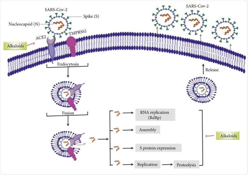 Obiettivi importanti degli alcaloidi nel combattimento del SARS-CoV-2. ACE2: enzima di conversione dell