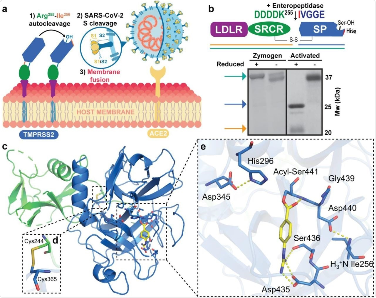Engineered activation and structural characterization of stabilized TMPRSS2 ectodomain. a Full-length, membrane bound TMPRSS2 zymogen undergoes autocleavage activation at the Arg255-Ile256 peptide bond and the matured enzyme proteolytically processes SARS-CoV-2 Spike protein docked to the ACE2 receptor to drive viral membrane fusion. b Engineered recombinant TMPRSS2 ectodomain containing the low-density lipoprotein receptor type-A (LDLR) domain, a Class A Scavenger Receptor Cysteine-Rich (SRCR) domain and a C-terminal trypsin-like serine peptidase (SP) domain, features an enteropeptidase-cleavable DDDDK255 substitution to facilitate controlled zymogen activation. The non-catalytic (LDLR+SRCR) and catalytic (SP) chains are tethered by a disulfide bond and the activation status can be interrogated by SDS-PAGE under non-reducing and reducing (5% β-mercaptoethanol) conditions. c X-ray crystal structure of activated TMPRSS2 ectodomain pre-treated with nafamostat (yellow sticks). d The interdomain disulfide pair (Cys244-Cys365) maintains covalent attachment of the SRCR and SP domains. e Close-up view of the SP catalytic triad residues (His296, Asp345 and Ser441) and the post-activation Asp440:Ile256 salt bridge showing complete maturation of the protease. Nafamostat treatment results in phenylguanidino acylation of Ser441. Polar contacts are shown as yellow dashed lines.