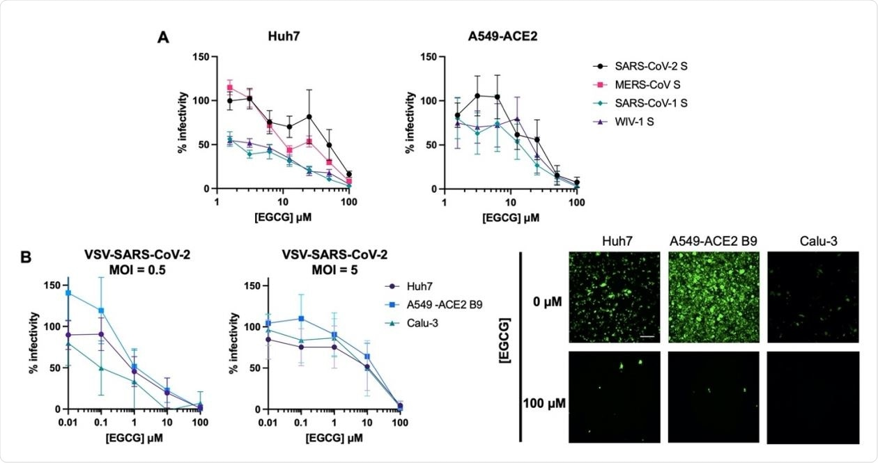 EGCG inhibits entry of highly pathogenic CoVs. (A) EGCG treatment reduced entry of lentiviral particles pseudotyped with S from SARS-CoV-1, MERS-CoV, SARS-CoV-2, or WIV1-CoV. Mean values with standard error of the mean of three independent experiments each done in triplicates are plotted. (B) EGCG displayed MOI-dependent inhibition of VSV-SARS260 CoV-2 in Huh7, A549-ACE2 B9 and Calu-3. Mean values with standard deviation of three independent experiments each in duplicates are plotted. Representative images are shown. Scale bar: 200 µm.
