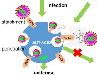 Researchers identify kite-shaped molecules that block SARS-CoV-2 cell entry after attachment