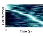 Hippocampal neurons fire during specific moments in time