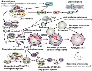 Study explores therapeutic potential of exploiting autophagy cascade against COVID-19