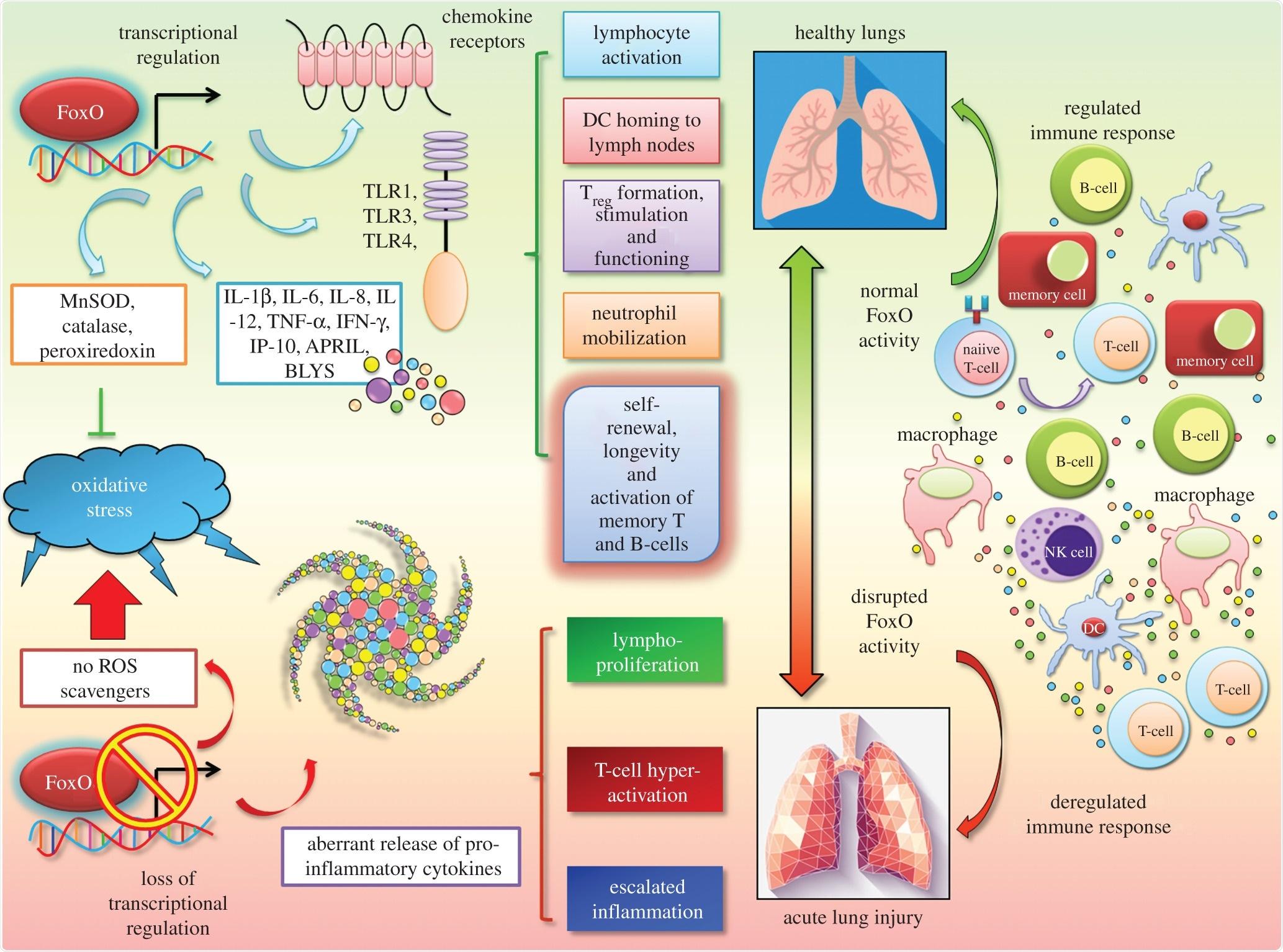 FoxOs è regolatori matrici unici delle risposte infiammatorie e redox cellulari. La famiglia di FoxO dei fattori di trascrizione modula l