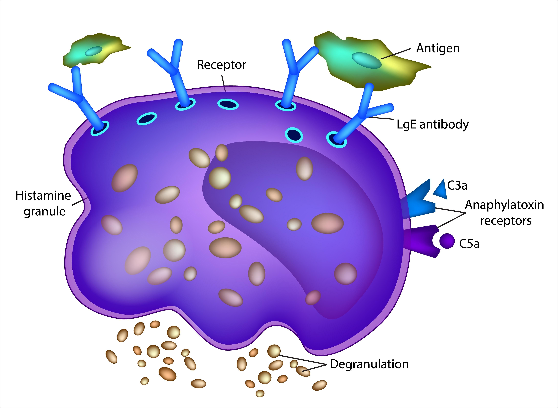 Mast Cell Diagram. Image Credit: Sakurra / Shutterstock