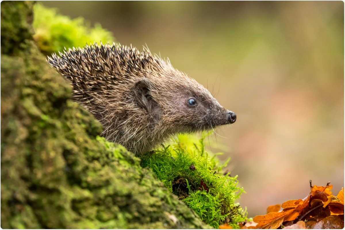 Study: Can the European Hedgehog (Erinaceus europaeus) Be a Sentinel for One Health Concerns?. Image Credit: Coatesy / Shutterstock