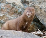 Assessing the extent of community spread caused by mink-derived SARS-CoV-2 variants