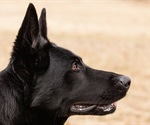 Accuracy of three COVID-sniffing dogs exceeds 85%