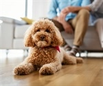 SARS-CoV-2 infection detected in a poodle living with a COVID-19 positive family