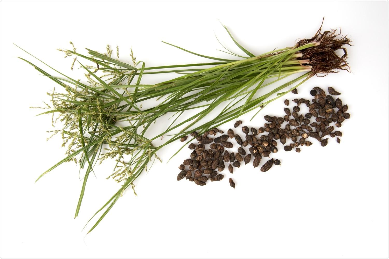 Étude : Examen critique des composés naturels du rotundus Linn de Cyperus contre la protéase SARS-CoV-2 principale (Mpro) : Une approche de calcul intégrée. Herbe de noix (rotundus Linn de Cyperus.) et graines. Crédit d