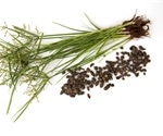 Cyperus rotundus medicinal plant shows promise for novel COVID-19 therapeutics