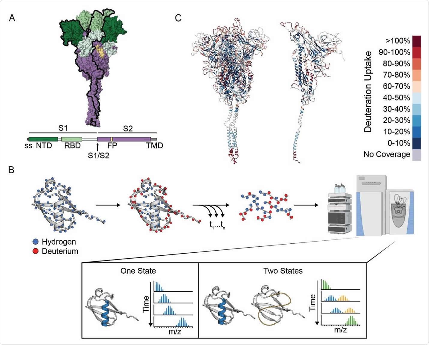 Intercambio de hidrógeno-deuterio monitoreado por espectrometría de masas (HDXMS) en el campo exterior del pico SARS-CoV-2.  (a) Diagrama esquemático de una proteína SARS-CoV-2 previa a la fusión estable y un modelo para la formación previa de tripletes (24).  (B) Esquema del experimento HDX-MS y las distribuciones de masa resultantes de un péptido presente en uno (izquierda) o dos (derecha) separables.  Para que las dos conformaciones den como resultado una distribución de masa bimodal, no deben cambiar durante la escala de tiempo del experimento HDX (horas).  La interconversión rápida puede resultar en una única distribución de masa con un perfil de masa promedio del grupo.  (C) Representación esquemática de la adsorción de deuterio a través de toda la proteína de pico que se muestra en el incisivo completo (izquierda) o en un solo protómero (derecha) después de 1 min de intercambio.