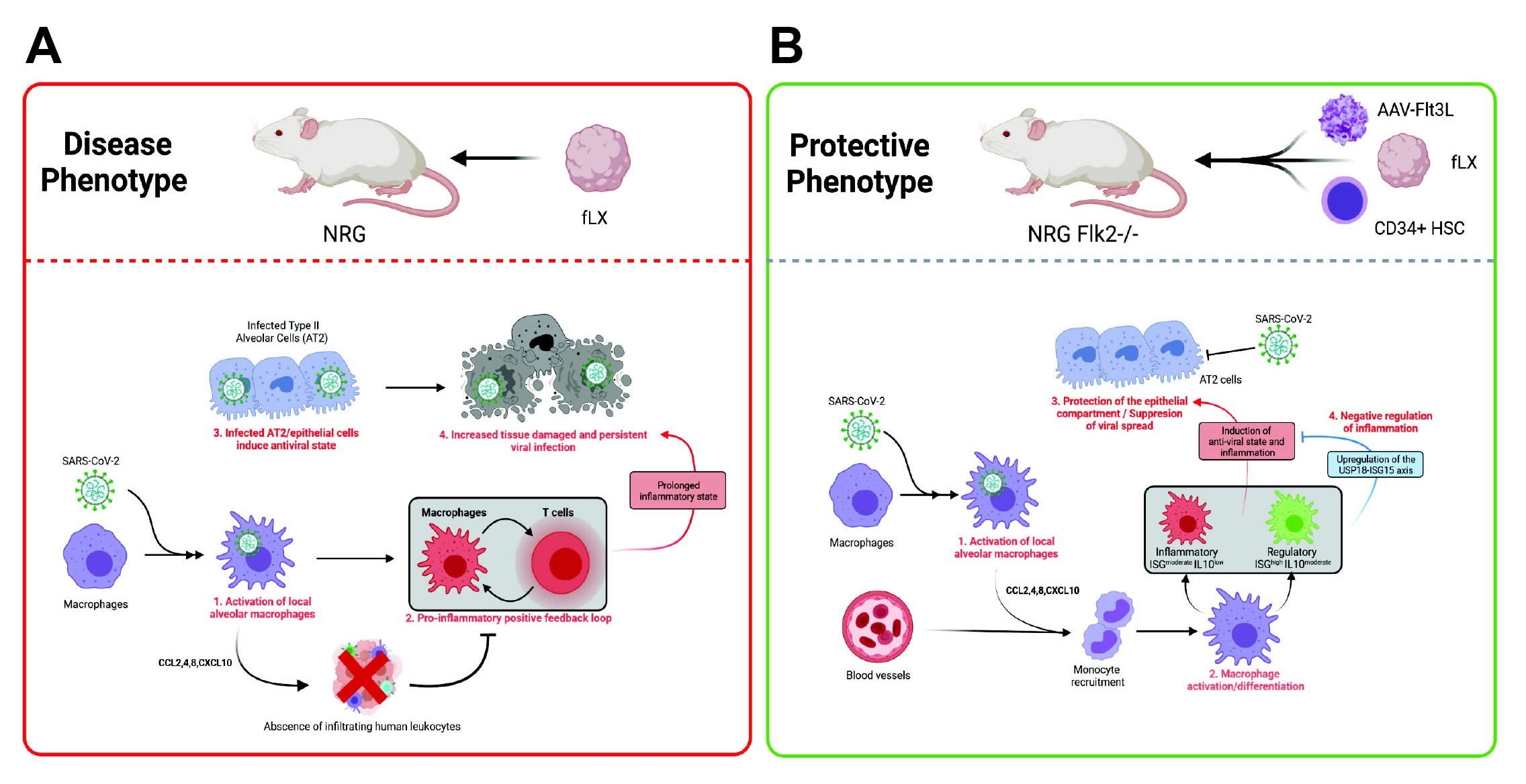 Characterization of SARS-CoV-2 infection in HNFL mice