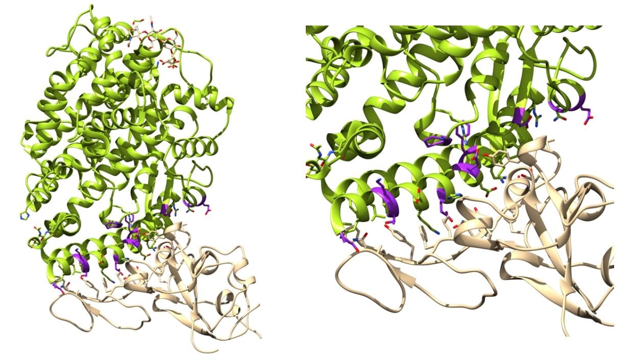 Binding affinity determination of ACE2 variants with SARS-CoV-2 Spike. Left: ACE2 (green) in complex with Spike RBD (tan) complex from biological assembly 1 derived from PDB ID: 6vw111. The positions that were mutated in this work are highlighted magenta. Right. The ACE2 Spike interface. Figure generated with Jalview and UCSF Chimera.