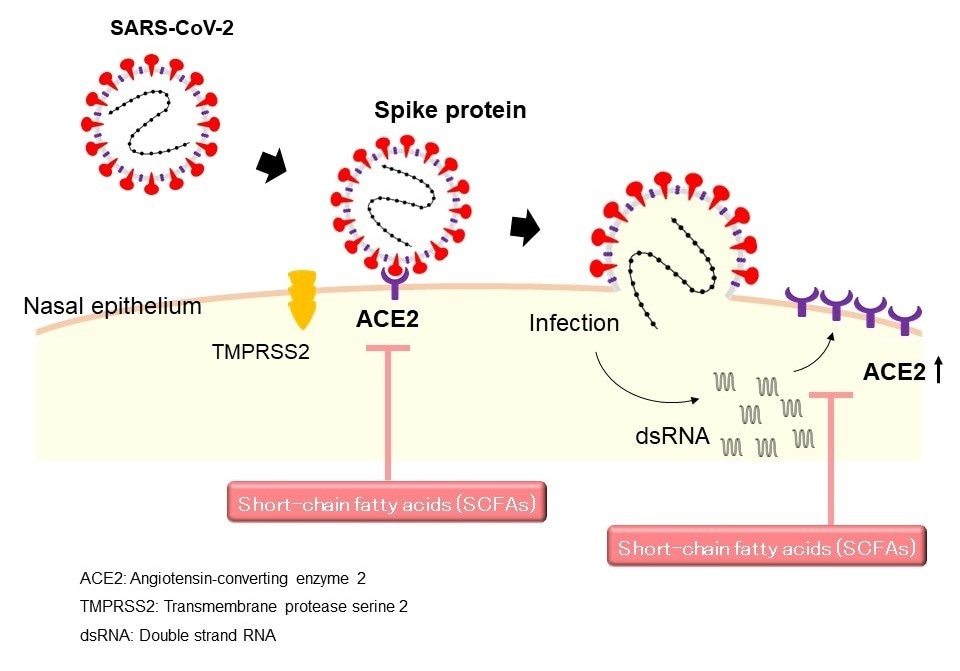Short chain fatty acids have potential therapeutic applications against COVID-19, study suggests