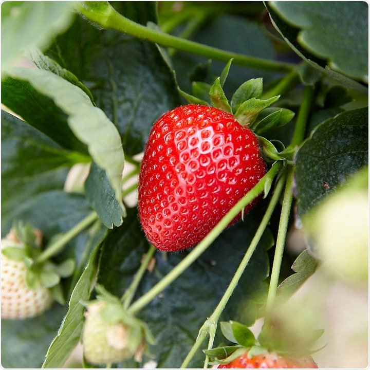 Strawberries could improve cardiometabolic risk factors in at-risk adults