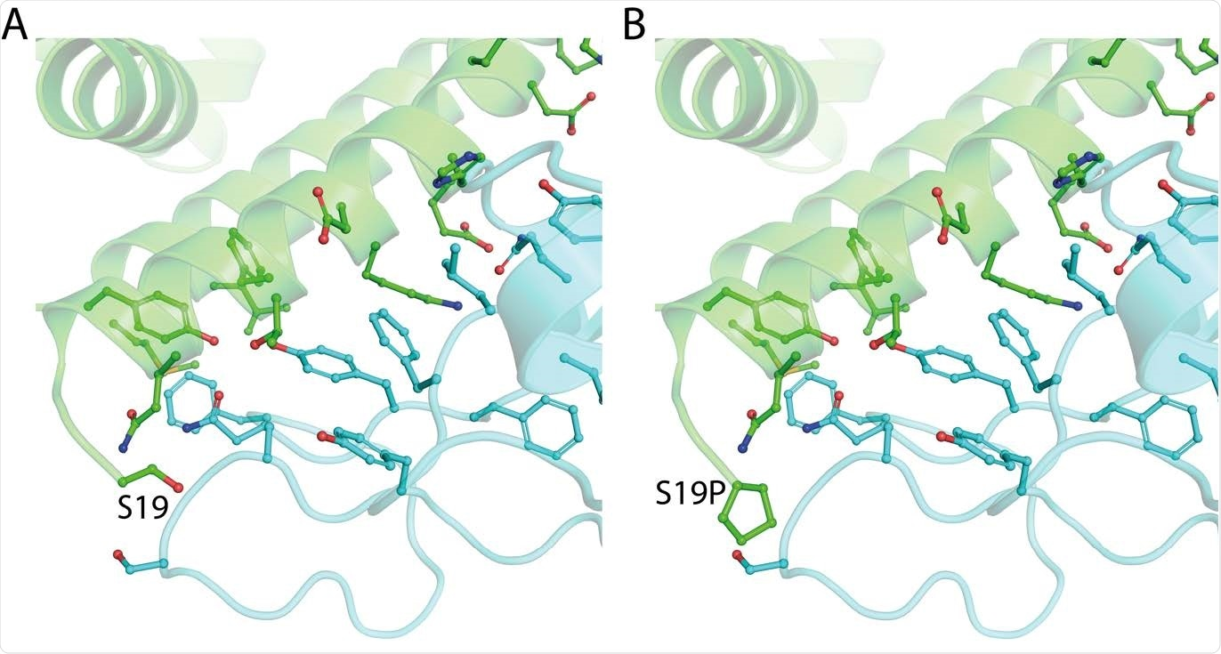 The structure of ACE2 (green) gnomAD24 missense variant p.Ser19Pro that enhances Spike (light blue) binding affinity. A. The environment of ACE2 Ser19 from PDB ID: 6vw111. B. Model of ACE2 p.Ser19Pro in complex with Spike. The mutant structure was modelled onto 6vw1 with mCSM-PPI13.