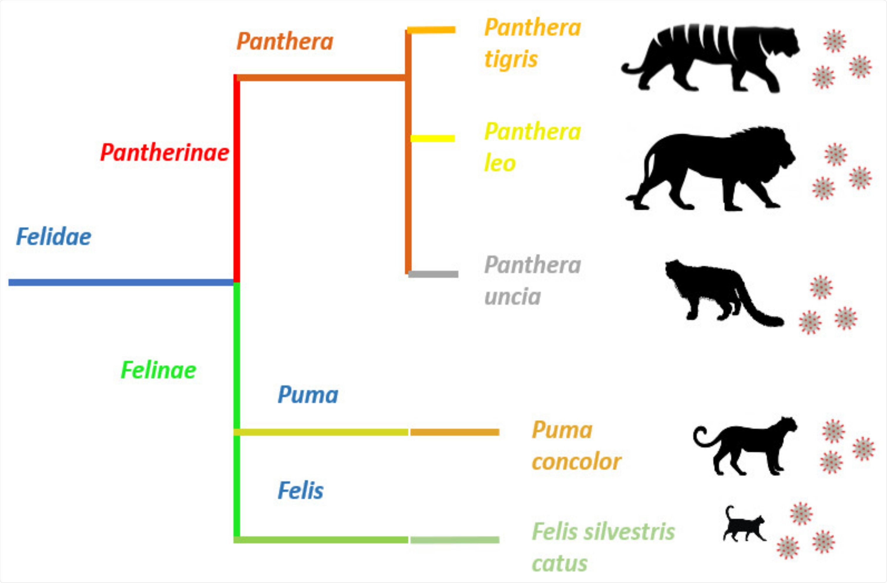 Felid species reported with SARS-CoV-2 infection.  SARS-CoV-2 infection has been reported in members of two subfamilies, Pantherinae and Felinae, belonging to the Felidae family.  Despite the obvious morphological differences between pantherids and cats, the virus is able to infect members of these two dissimilar families and cause very similar clinical symptoms.
