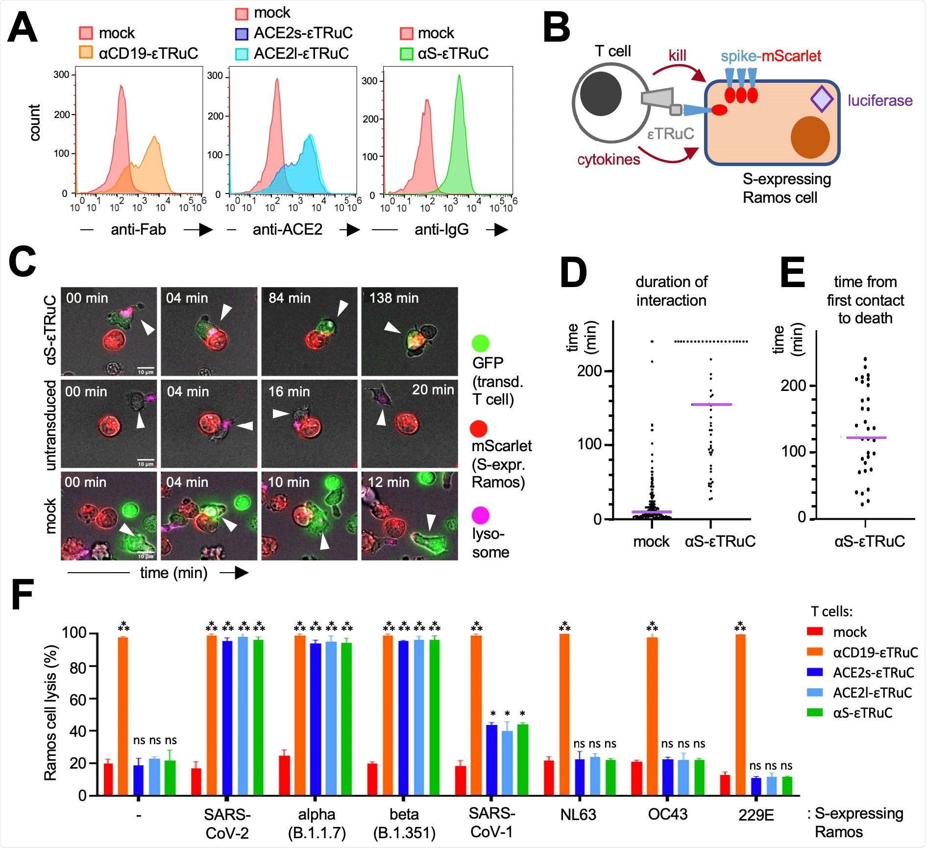 S-specific εTRuC T cells selectively eliminate S-expressing cells. A, Primary human T cells were transduced with the lentiviral vectors encoding for the εTRuCs or the mock vector and expanded with IL-2. Surface expression of the εTRuCs was determined by anti-Fab, anti-ACE2 and anti-IgG staining as indicated. B, S-and luciferaseexpressing Ramos cells are killed by the new εTRuC T cells. C, An αS-εTRuC T cell (green) with the lysosomes stained in pink and an S-mScarlet-expressing Ramos cell (red) were imaged and selected frames of the given times are shown (upper panel). Non-transduced (middle panel) and mock-transduced (green, lower panel) T cells were imaged together with the S-mScarlet-expressing Ramos cells (red). D, Quantification of the duration of interaction between S-mScarlet-expressing Ramos cells and αS-εTRuC or mock T cells from the 4 h videos. E, Quantification of the time it takes for an αS-εTRuC T cell to kill an S-mScarletexpressing Ramos cell (the purple lines in D and E depict the median). F, Ramos cells expressing luciferase, BFP and the different S-proteins were co-cultured with the εTRuC T cells for 24 h at in a 1:1 ratio. Target cell lysis was measured by a loss of luciferase activity in triplicates (the experiment was repeated more than 3 times, n>3).