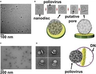 Large nanodiscs simulate viral entry into host cells