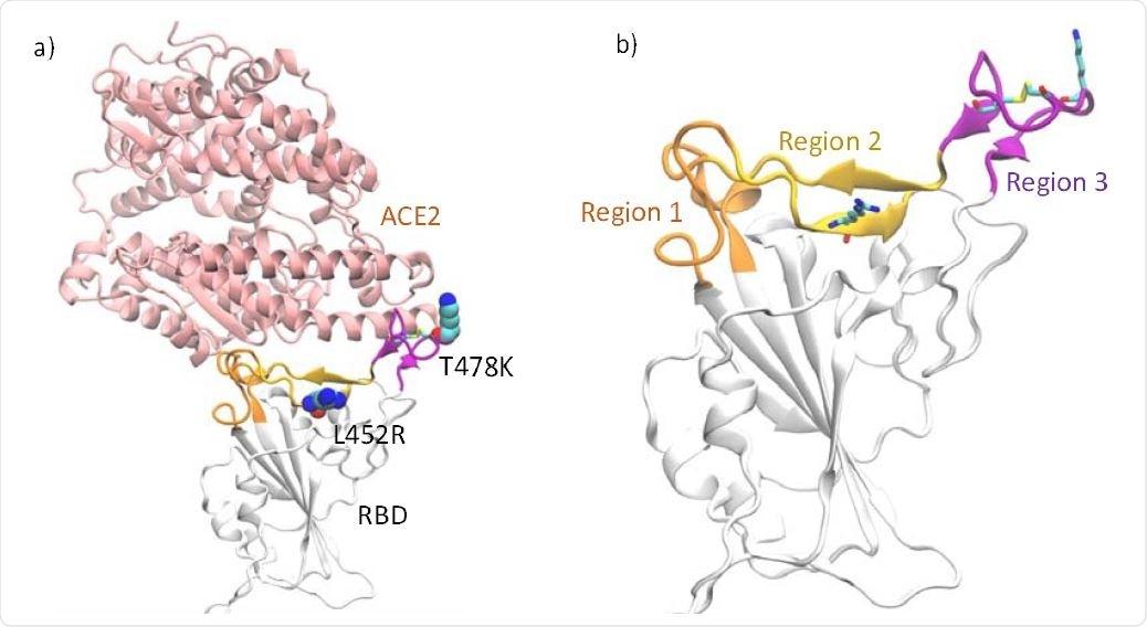 a) RBD es complejo con ACE2.  Los sitios de mutaciones en el RBD de la variante delta están resaltados en la representación de VDW b) Los segmentos de bucle compuestos por los residuos 438-447 y 499-508 (región 1) están resaltados en naranja, la región de la hoja β que consta de los residuos 448 - 455 y 491-498 están resaltados (región 2) en amarillo y el bucle de unión al receptor consta de los residuos 472-490 (región 3) en violeta.  El enlace disulfuro en el anillo, así como las mutaciones en la variante delta, se muestran como barras.
