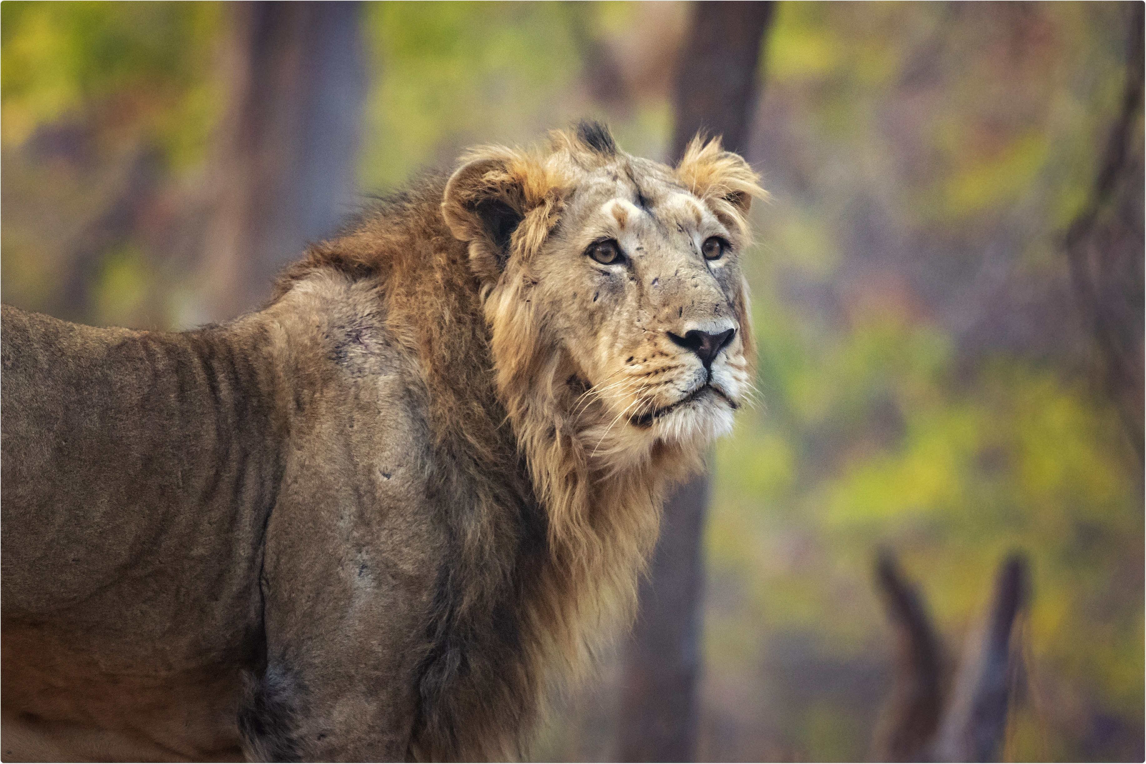 Study: Natural infection of SARS-CoV-2 delta variant in Asiatic lions (Panthera leo persica) in India. Image Credit: Milan Zygmunt / Shutterstock