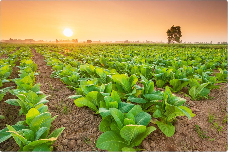 Tobacco plants. Image Credit: Piyawat Nandeenopparit / Shutterstock