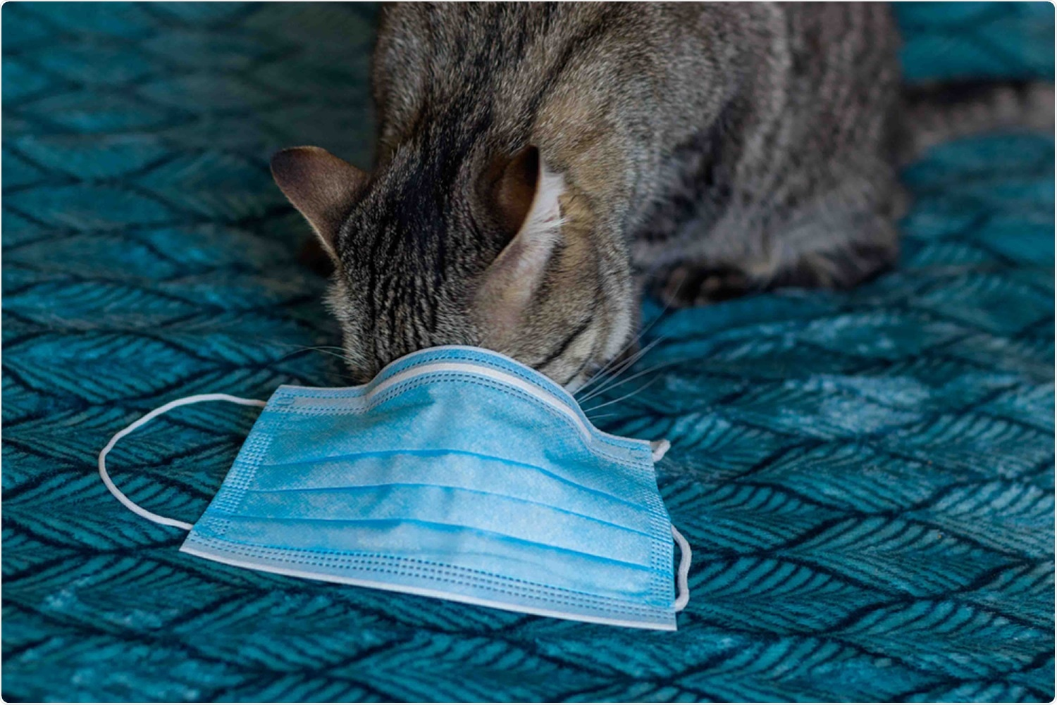 Study: The SARS-CoV-2 reproduction number R0 in cats. Image Credit: anyaPhOtOgraf / Shutterstock