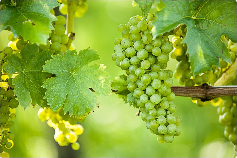 Study: Antiviral Activity of Vitis vinifera Leaf Extract against SARS-CoV-2 and HSV-1. Image Credit: Bildagentur Zoonar GmbH / Shutterstock