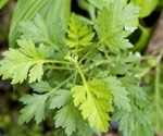 Study proves effectiveness of Artemisia annua against SARS-CoV-2 in vitro