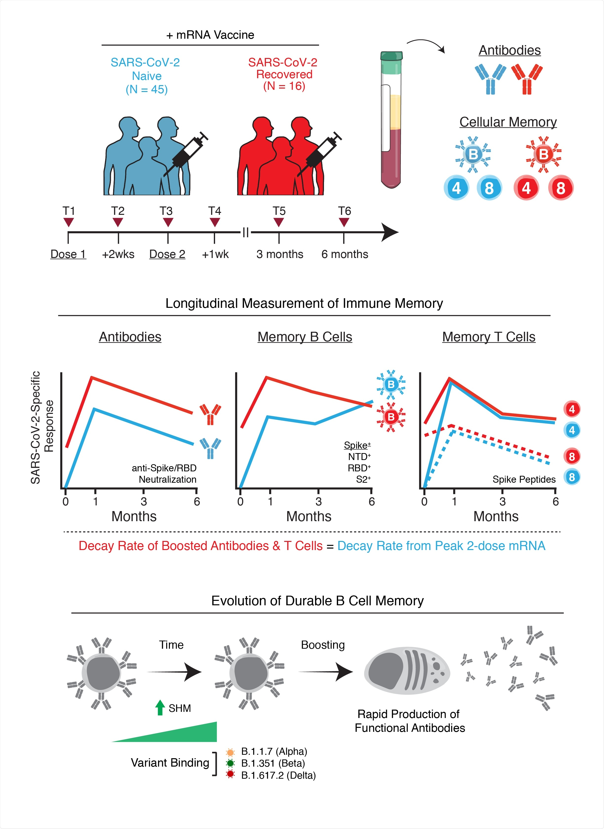 Study: mRNA Vaccination Induces Durable Immune Memory to SARS-CoV-2 with Continued Evolution to Variants of Concern