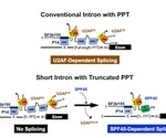 Study uncovers a subset of human short introns spliced out by a distinct mechanism