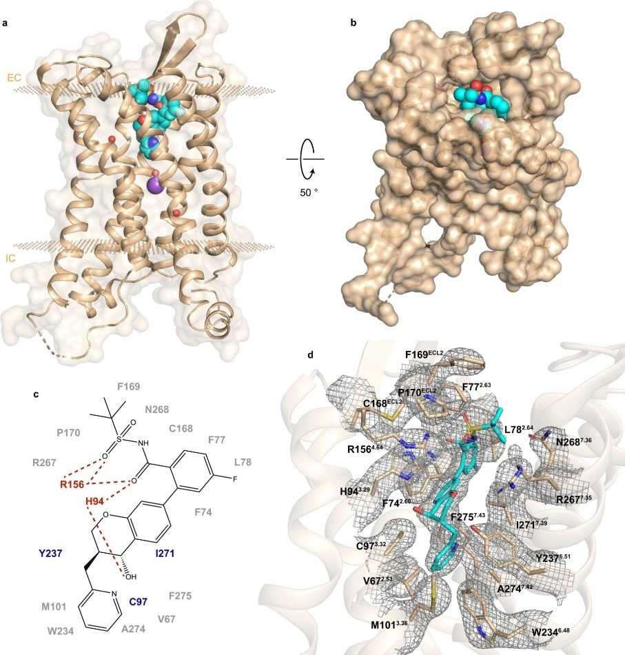 Researchers determine the structure of receptor involved in type 2 diabetes and other pathologies