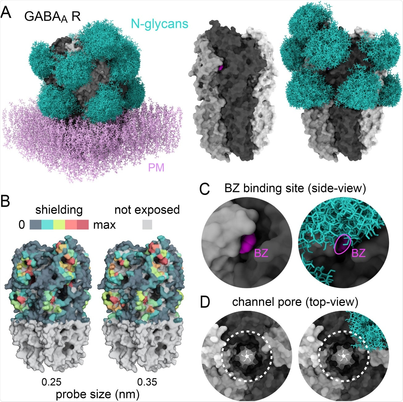 Glycans sculpt the surface of GABAA receptors A) Structure of a human homopentameric GABAA receptor (beta3 subunits, grey) shown with and without patch of plasma membrane (PM, added for visualisation only, pink) with and without reconstituted glycan shields (GlcNac2-Man5, blue in A and B). B) 3D-heatmaps of the reduction of solvent accessible surface area (SASA) by glycans for different probe size. C-D) Magnified views of the benzodiazepine binding site with bound ligand, BZ, shown in fuchsia (C) and the extracellular vestibule of the channel pore (dotted lines in D). In C and D, note the partial occlusion of the ligand binding site and the ending of the glycan shield at the opening of the channel pore, respectively.