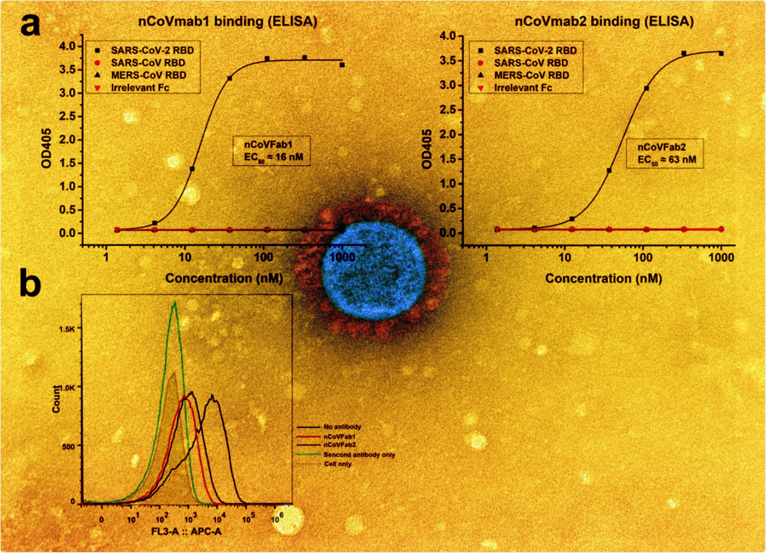 a Binding of nCoVFab1 and nCoVFab2 to different RBDs, as measured by an ELISA. RBD-Fc fusions of SARS-CoV-2, SARS-CoV, and MERS-CoV were used as antigens. Irrelevant Fc protein was used as a negative control. The experiments were performed independently twice and similar results were obtained. One representative experiment is shown and data are average values of two replicates. b Blockage of binding of SARS-CoV-2 RBD-Fc to Vero E6 cells by Fabs. nCoVFab1 and nCoVFab2 inhibited the binding fluorescence shift with efficiencies of approximately 89% and 82%, respectively, as measured by flow cytometry.