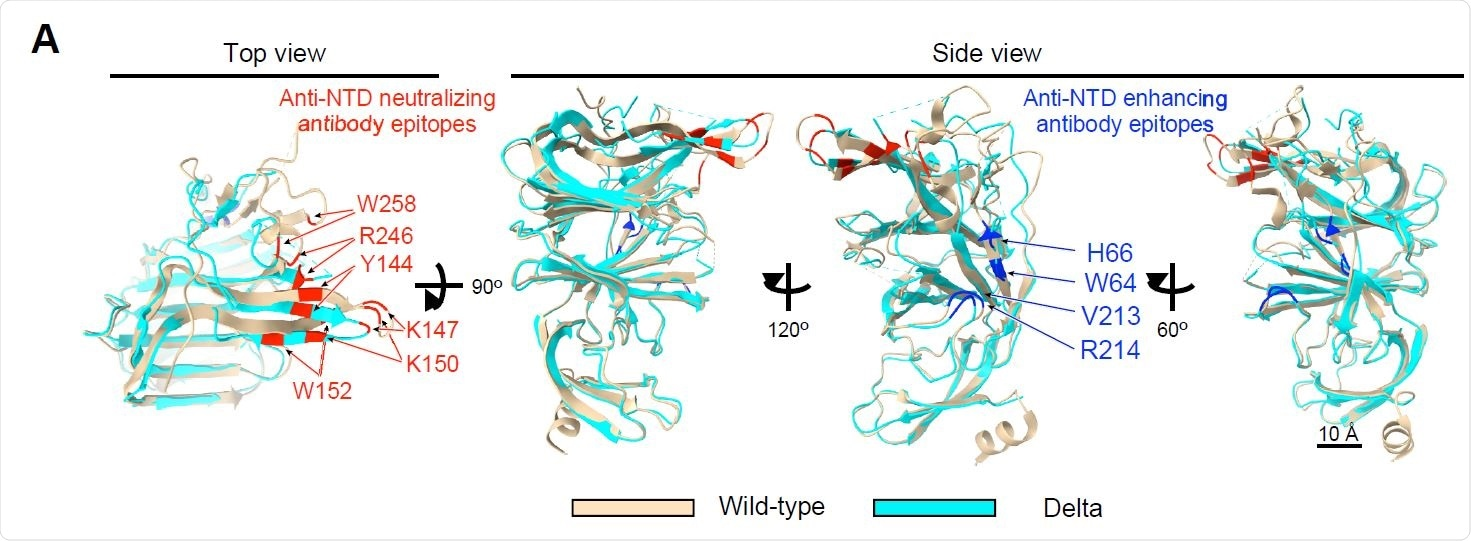 Cryo-EM analysis of the Delta NTD (A) Structure of the Delta NTD (light blue) analyzed by the Cryo-EM were superimposed with the wild-type NTD (light brown, PDB: 7LY3). Major anti-NTD enhancing antibody epitopes (blue) and anti-NTD neutralizing antibody epitopes (red) were indicated in the figure.