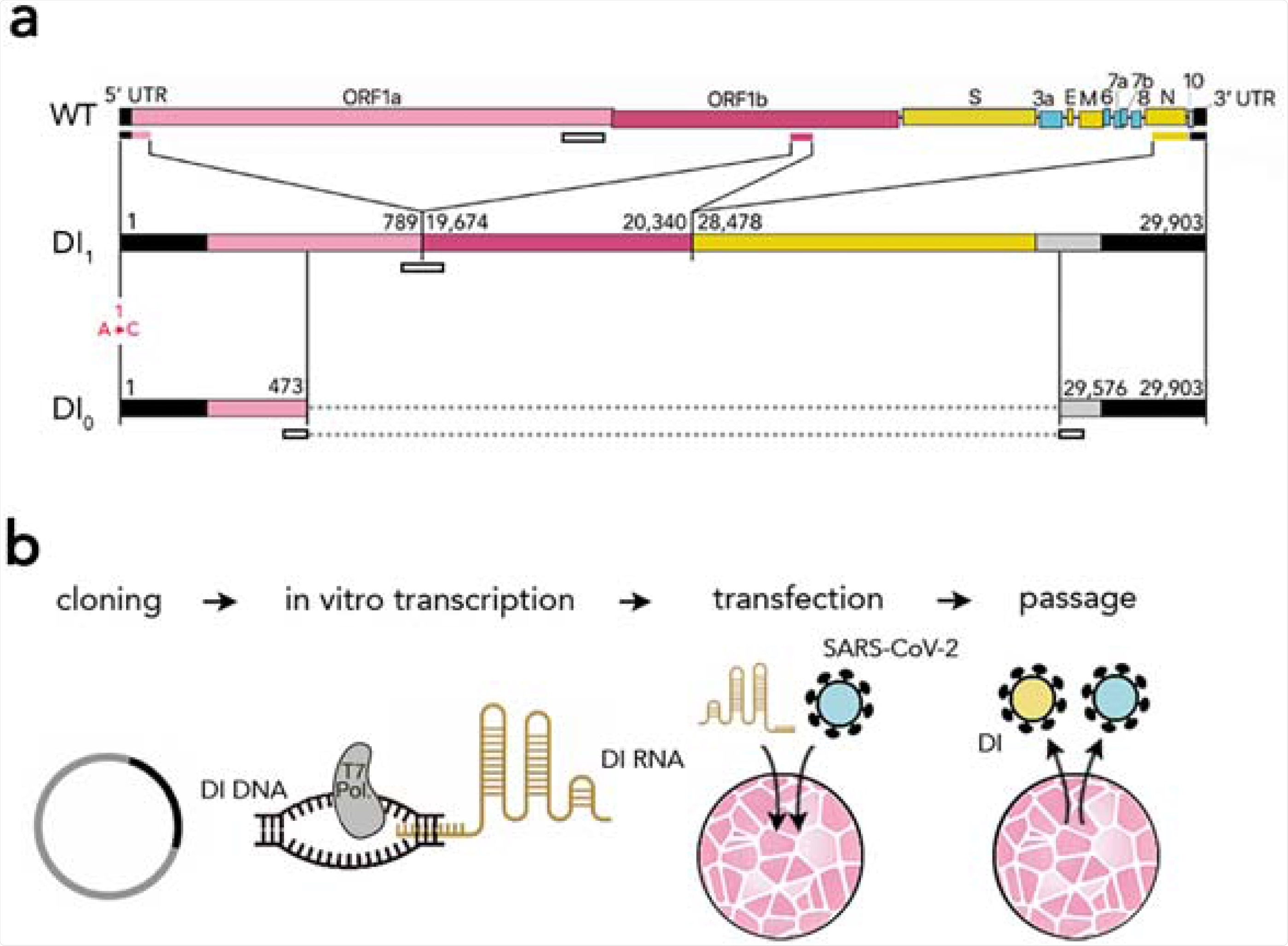 Synthetic defective interfering viruses. (A) Three portions of the wild type (WT) SARS-CoV-2 genome were used to create a synthetic defective interfering genome (DI1) and a shorter version (DI0) comprising only parts of the two terminal portions. Numbers delimiting the portions refer to positions in the SARS-CoV-2 genome. The first position is mutated (A →C) in both DI1 and DI0. Open rectangles show the position of the probes and primers used. (B) To produce synthetic DI particles, DNA constructs corresponding to the RNA sequence of DI1 or DI0 were transcribed into RNA in vitro using T7 RNA polymerase and transfected into Vero-E6 cells that were then infected with SARS-CoV-2. The supernatant from these cell cultures was used to infect new cells.
