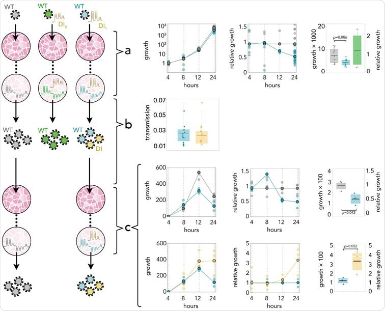 DI1 reduces the amount of SARS-CoV-2 by half; it replicates 3 times faster; and it is transmit- ted with the same efficiency. (A) Growth rates (absolute amount relative to the amount at 4 h) of WT in controls (gray) and in coinfections with DI1 (blue) or DI0 (green); growth relative to controls at the same time point; and detail at 24 h. (B) Transmission efficiency of WT (blue) and DI1 (yellow) in coinfections: the amount, measured by qRT-PCR, immediately before passaging divided by the average amount mea- sured almost immediately (4 h) after passaging (using the supernatant to infect new cells 24 h after initial infection). DI0 was detected inside the cells but not in the supernatant. (C) Growth rates (absolute amount relative to the amount at 4 h) of WT in controls (gray) and in coinfections (blue); growth relative to con- trols at the same time point; and detail at 24 h. Growth rates (absolute amount relative to the amount at 4 h) of WT (blue) and DI1 (yellow) in coinfections; growth relative to that of WT in coinfections at the same time point; and detail at 24 h.