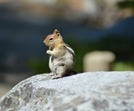 Parts of Lake Tahoe close after chipmunks test positive for plague