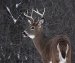 White-tailed deer are highly susceptible to SARS-CoV-2 infection