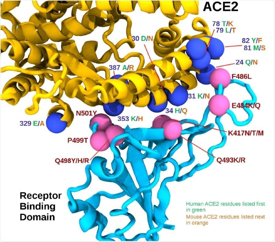 La surface adjacente RBD/ACE2. Le domaine obligatoire de récepteur est montré dans bleu-vert, alors que l