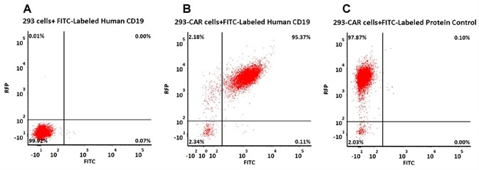 293 cells were transfected with anti-CD19-scFv and RFP tag. 2e5 of the cells were stained with B. FITC-Labeled Human CD19 (20-291) (Cat. No. CD9-HF2H2, 10 µg/mL) and C. FITC-labeled protein control. A. Non-transfected 293 cells and C. FITC-labeled protein control were used as negative control. RFP was used to evaluate CAR (anti-CD19-scFv) expression and FITC was used to evaluate the binding activity of FITC-labeled Human CD19 (20-291) (Cat. No. CD9-HF2H2).