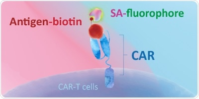 Evaluating CAR expression with biotinylated, fluorescence-labeled, and unconjugated proteins